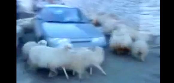 deli_koyunlar